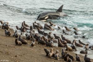 """Killer Whale Beach Attack"" - by: Bill Klipp"