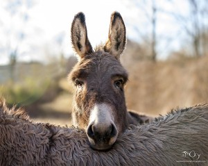 """Tired Donkey"" By: Nicky Decorte"