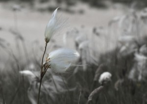 """Cotton grass"" By:  Kate Blagg"