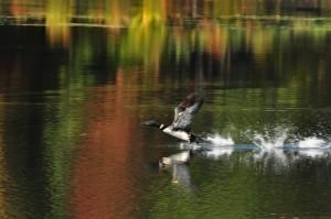 """""""Loon taking Flight"""" By: Jeffrey LeGrow"""