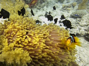 """Anenome Clownfish, Red Sea, Egypt"" By: Diana Spitzley"