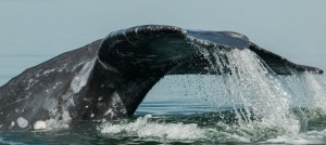 """""""Whale Tails"""" By: Arabella S Dane"""