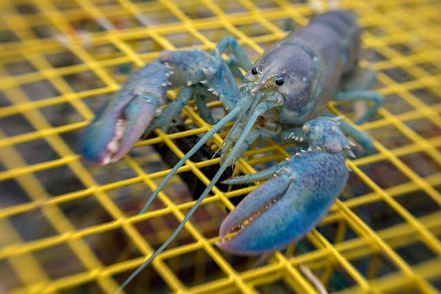 Blue Lobster SW80 Kathleen web