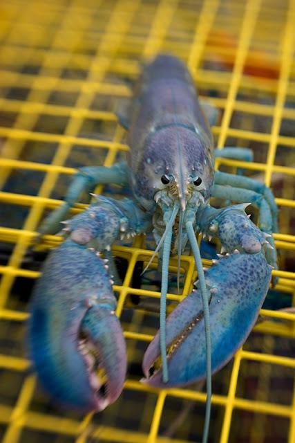 Blue Lobster V SW80 Kathleen web