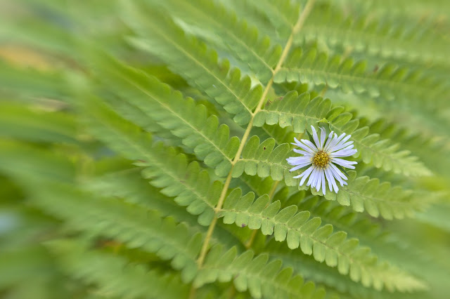 Fern with aster Sw80 web