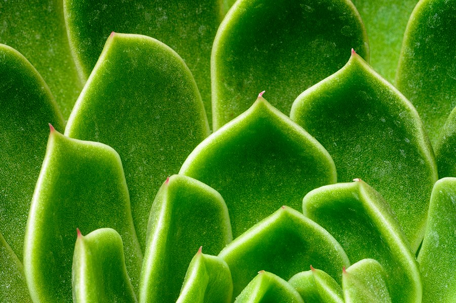 Succulent_Pattern_Macro_Drager